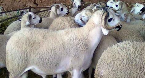 عشية السوق الأسبوعي للدريــوش..انخفاض طفيف في أثمنة الأكباش