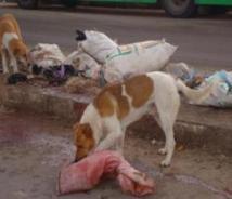 الكلاب المسعورة تجتاح بلدة تماسينت
