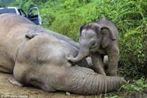 بالدموع فيل صغير يحاول يائساً إيقاظ أمه النافقة