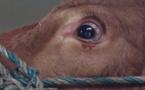 بهولندا : بقرة تنجو من الذبح بسبب دموعها / قمة الانسانية
